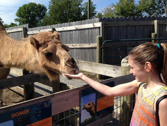 Petersburg, KY: Feeding camels at the petting zoo - who doesn't love that?!