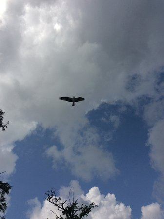 Breaux Bridge, LA: Osprey