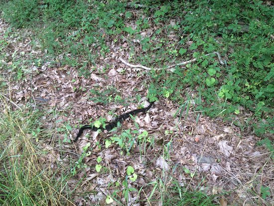 Waterville, เพนซิลเวเนีย: Timber rattlesnake at Little Pine SP