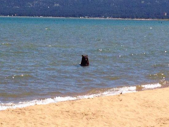 Even Tahoe Bears Like Pope Beach