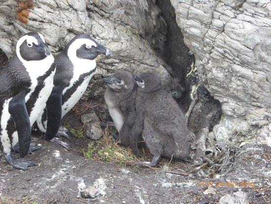 Кейптаун, Южная Африка: Pinguini del Capo, Stoney Point lungo la R44