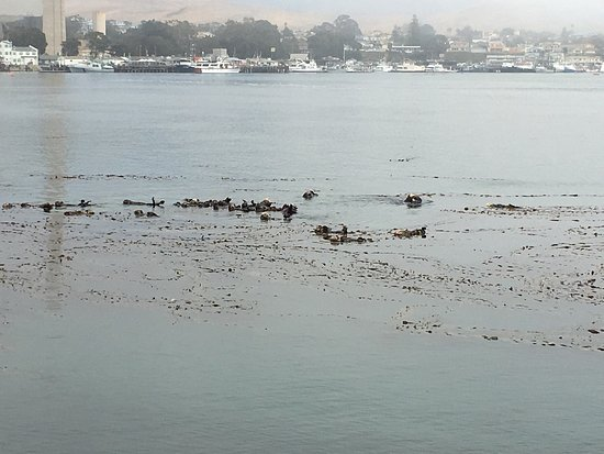 """Morro Bay, CA: """"Sea Otter Town"""" where they rest; please do not approach within 100 yards - it's the law and mak"""