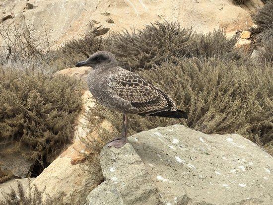 มอร์โรเบย์, แคลิฟอร์เนีย: A juvenile Western Gull that was resting after learning to fly the area
