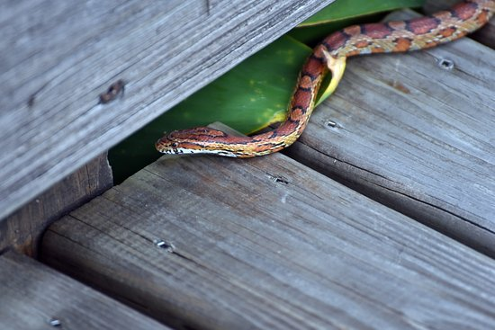Wakodahatchee Wetlands: Keep on slithering along my friend!