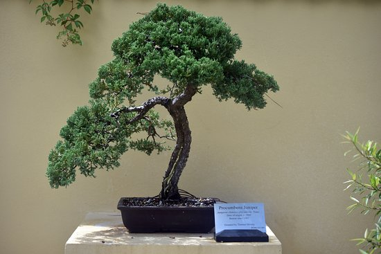 Morikami Museum & Japanese Gardens: Bonsai garden is beautiful