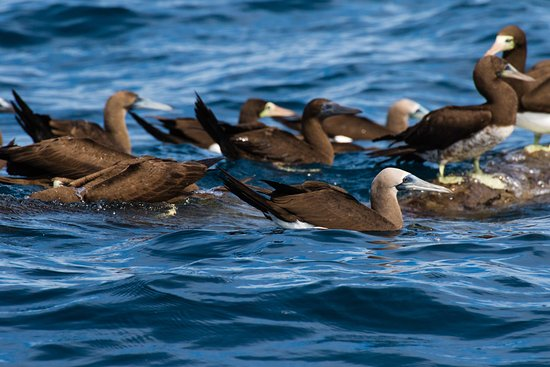 Drake Bay, Costa Rica: Boobies fishing
