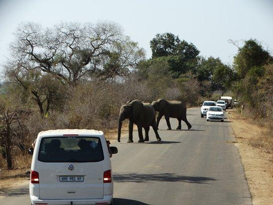 Game drives at Phalaborwa Gate in Kruger National Park: Kruger - vehicles stopped for elephants crossing