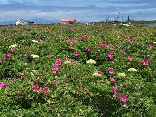 Betsukai-cho, Japan: お花畑
