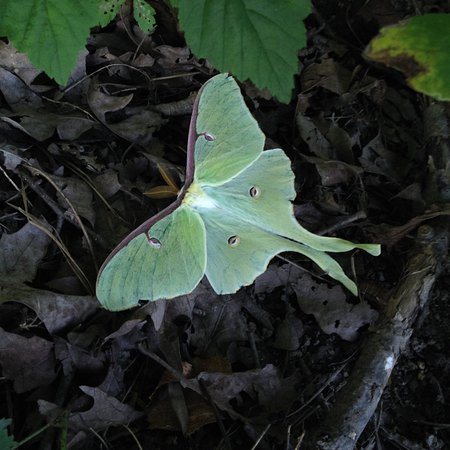 Jim Thorpe, Пенсильвания: A beautiful luna moth we spotted on the left side of the memorial in the woods
