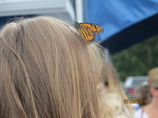 Langley, แคนาดา: A Monarch settles on this unsuspecting visitor..