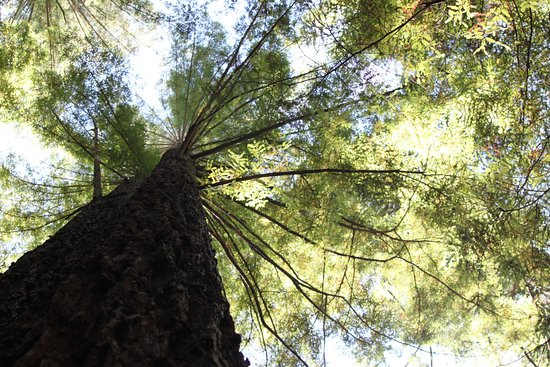 Brookings, OR: Dazzling heights of trees