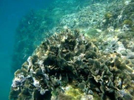 Portobelo, Panamá: coral