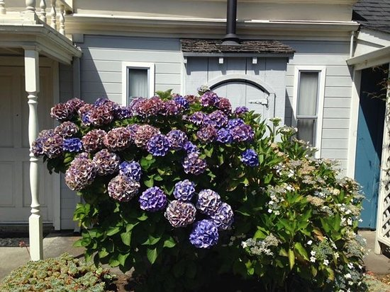 Blackberry Inn: Beautiful rhododendrons at the Inn