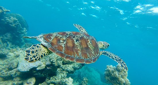 Cape Tribulation, Australia: One of the few turtles on the reef.