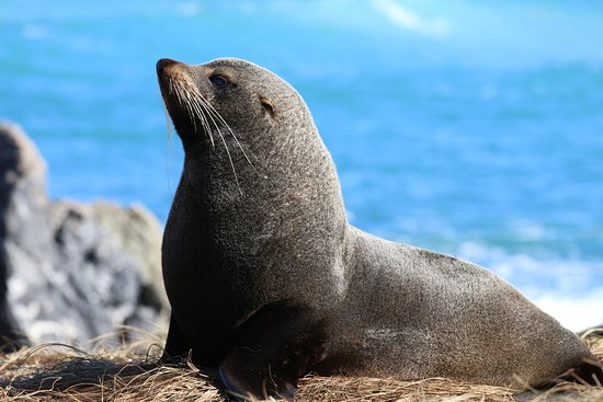 Wairarapa, Nieuw-Zeeland: See them about 5 minutes back down the road. NZ Fur Seal