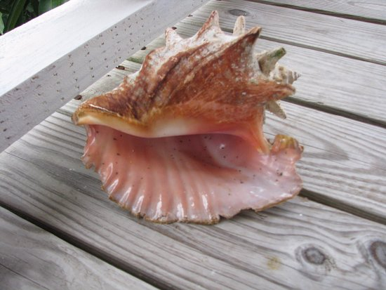 Creole Cruises Antigua: This shell is now in our living room! We found it at Bird Island and there were many more!