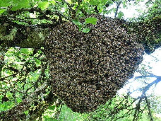 """Thiersee, Austria: """"Bienenhochzeit"""" (Bienenschwarm)"""