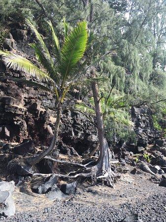 Pahoa, هاواي: palm tree