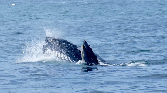 Newfoundland, แคนาดา: Humpback whales feeding