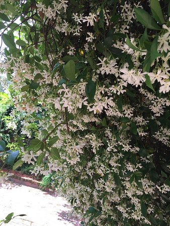 Greater Good Gallery : Jasmine in bloom as you enter the rear courtyard