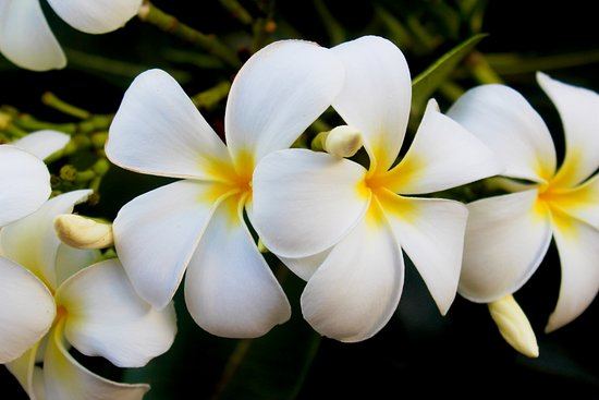 Whalers Cove Resort: Gorgeous plumeria from the balcony