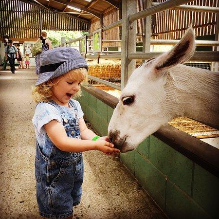 Leatherhead, UK: Animal feeding (Alpaca)