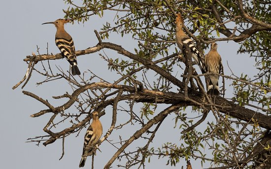Grenada provinsen, Spanien: 4 out of the 50 Hoopoes flying around in the morning