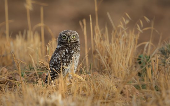 Province of Granada, Spain: Little Owl