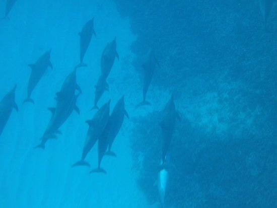 Sea Quest Snorkel Tours: dolphin pod