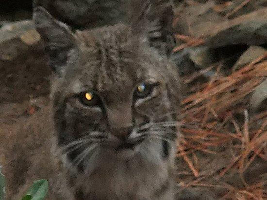 Silverado, CA: Bobcat