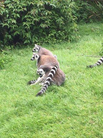 Burford, UK: Lemurs