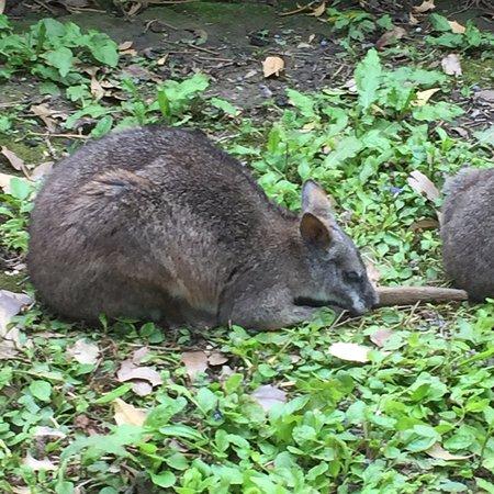 Burford, UK: wallaby