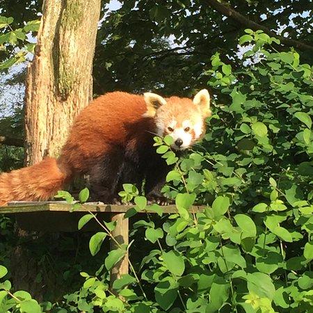 Burford, UK: red panda