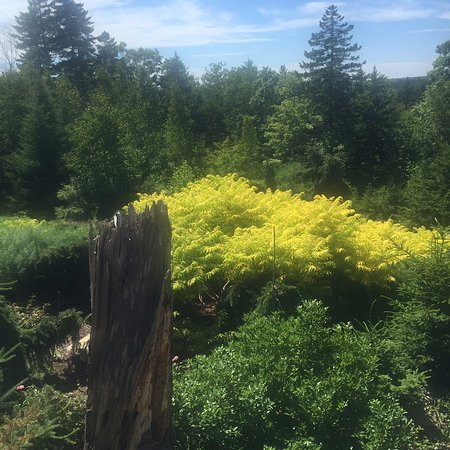 Coastal Maine Botanical Gardens: Great display of Rhus 'tiger eyes' on a hot day.