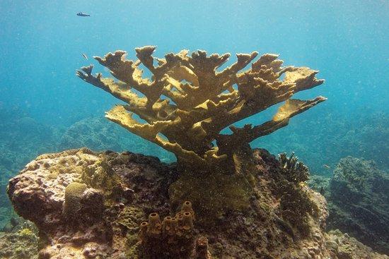Bouillante, Guadeloupe: corail