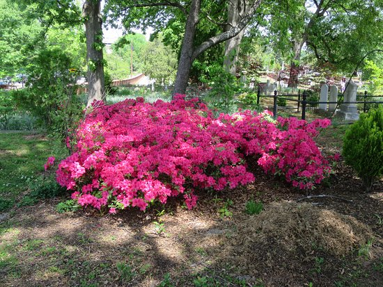 Oakland Cemetery: Azaleas in bloom
