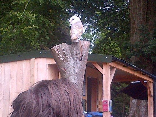 Ravenglass, UK: Barn Owl