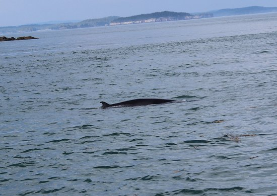 Saint Andrews, كندا: Minke whale