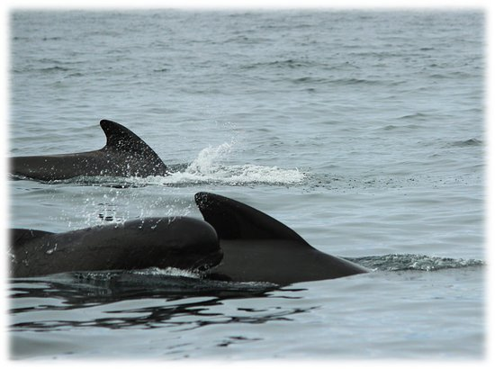 Pleasant Bay, Canadá: Pilot whales with baby