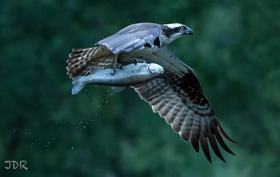 Aviemore, UK : Osprey with a huge catch