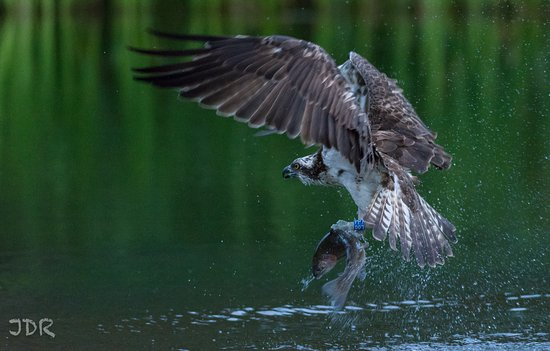 Aviemore, UK : Osprey with breakfast