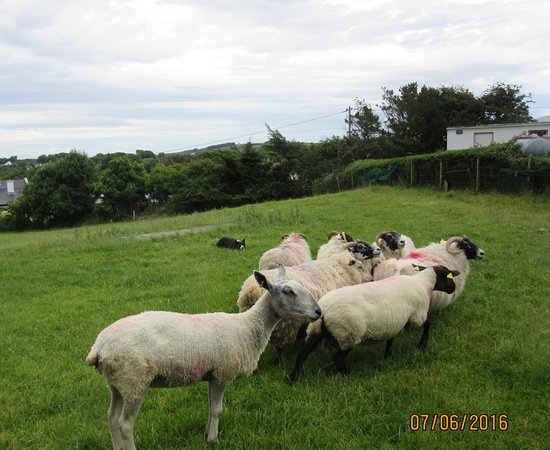 Grange, Irlandia: Jack's job was to separate the sheep with horns from those without,