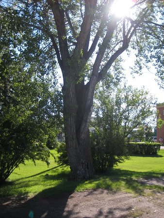 Big Valley, Canadá: Beautiful tree and Alberta sunshine outside the train station