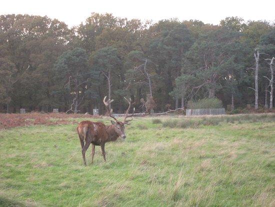 Richmond-upon-Thames, UK: Stag Richmond Park