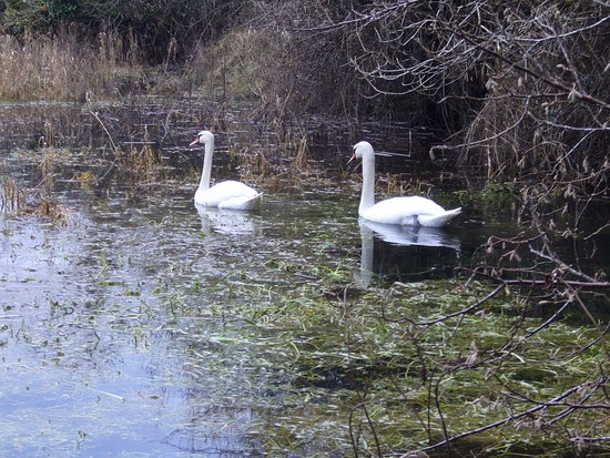 Ennis, İrlanda: A pair of beautiful swans.