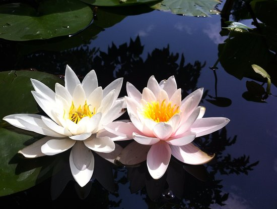 beautiful lotus flowers on the japanese garden's lake  picture of, Natural flower