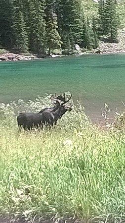 West Maroon Trail: Moose Near Maroon Lake