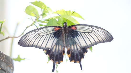 Quartier D'Orleans, Sint Maarten: one of the butterfly species flapping around