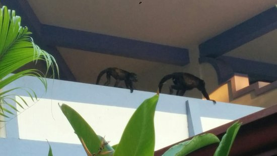 Bahia del Sol Beach Front Hotel & Suites: Howler monkeys on balcony