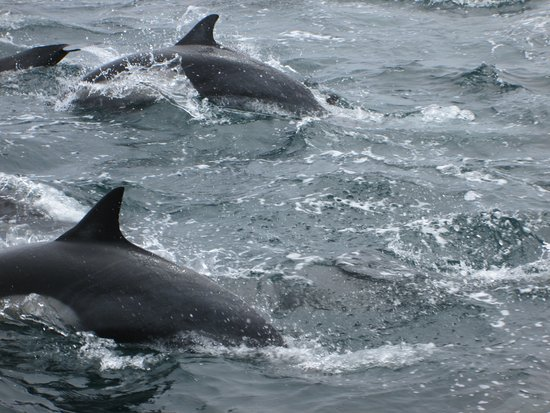 Dana Point, CA: Many dolphins